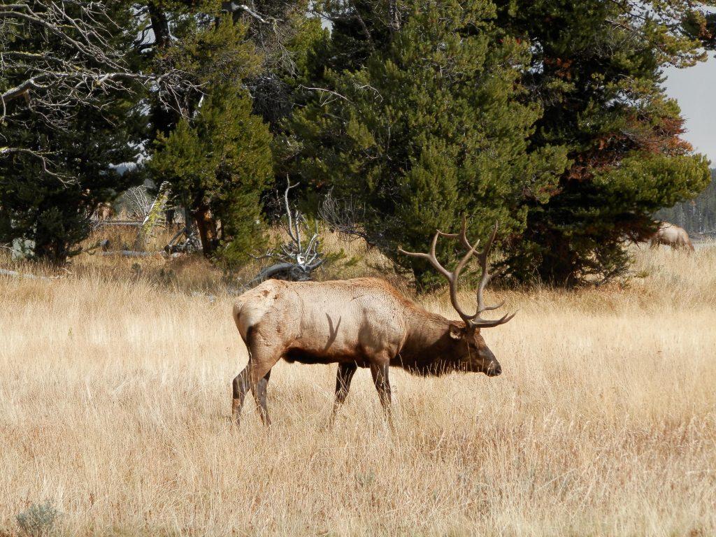 EEUU Oeste Yellowstone Wapití