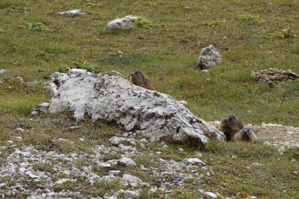 Marmotas en Tre Cime di Lavaredo, Dolomitas