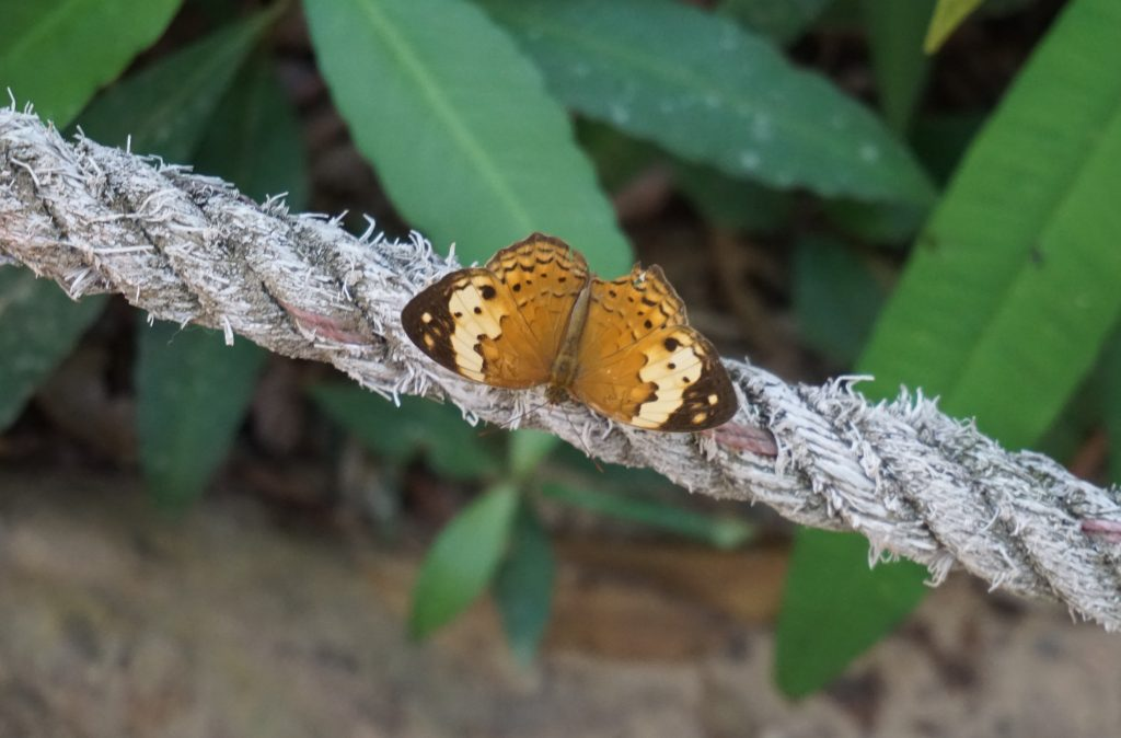 Mariposa en Kbal Spean
