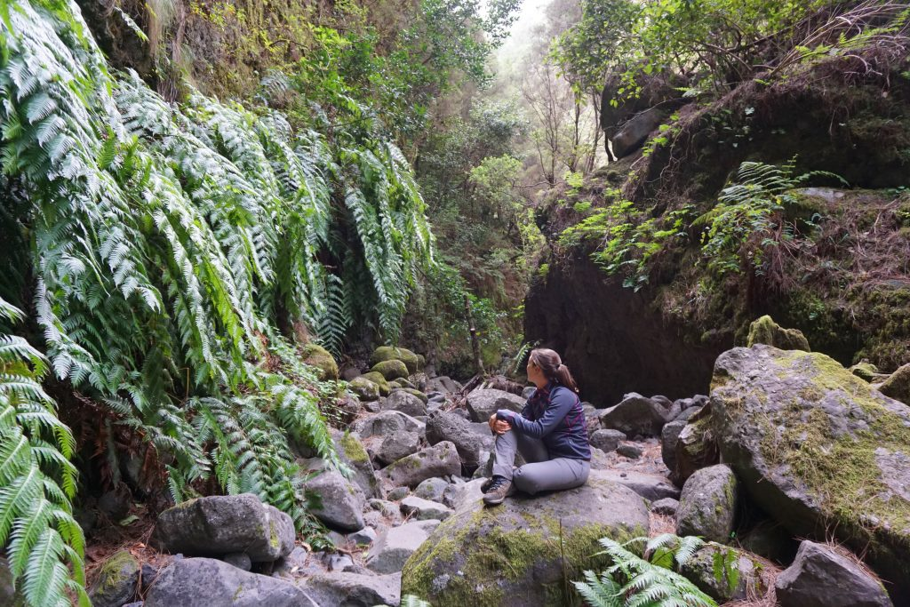 Helechos gigantes del barranco Rivero del PR LP 06. Marcos y Cordero – Los Tilos, La Palma.