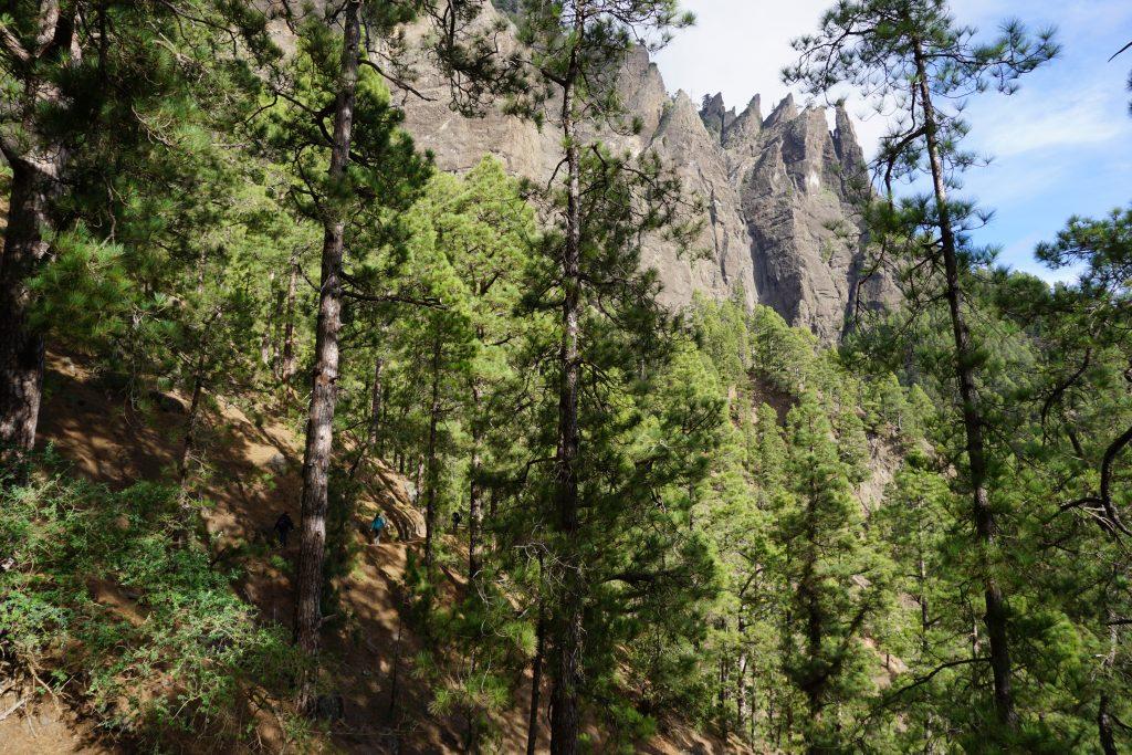 Pinares del Parque Nacional de la Caldera de Taburiente, Isla de La Palma