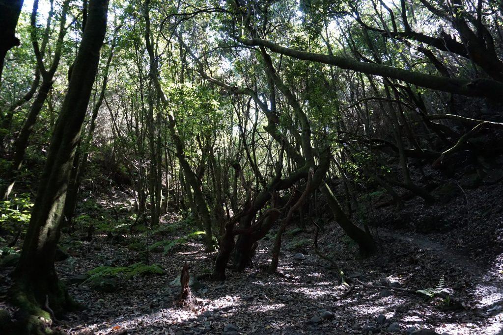 Bosques de laurisilva en el PR LP-9.2 La Zarza, La Palma