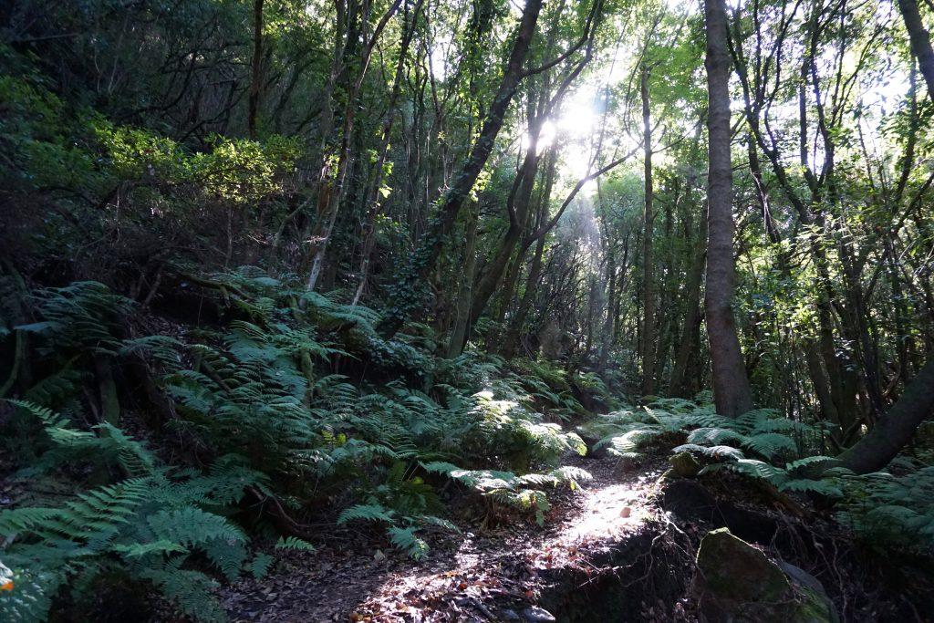 Bosque de laurisilva en el PR LP-9.2 La Zarza, Isla de La Palma