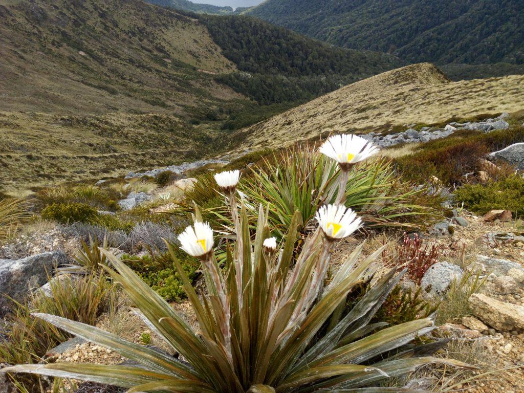 Los tramperos utilizaban estas flores como copa para beber el agua de la lluvia