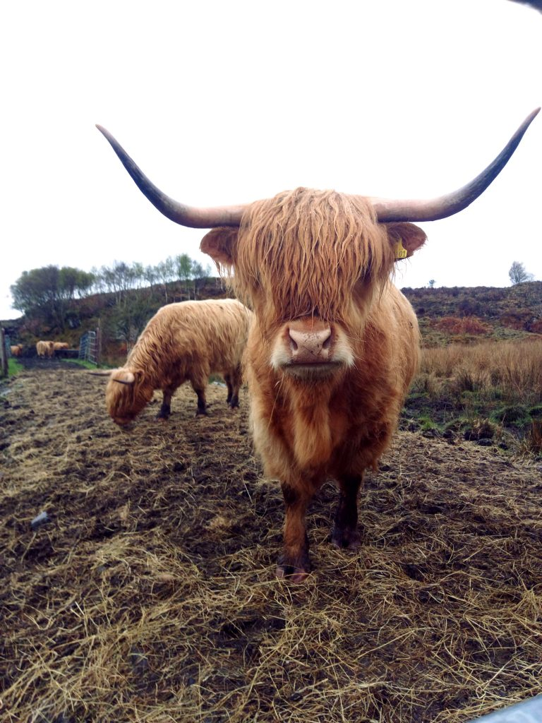 Escocia Vaca de las Highlands
