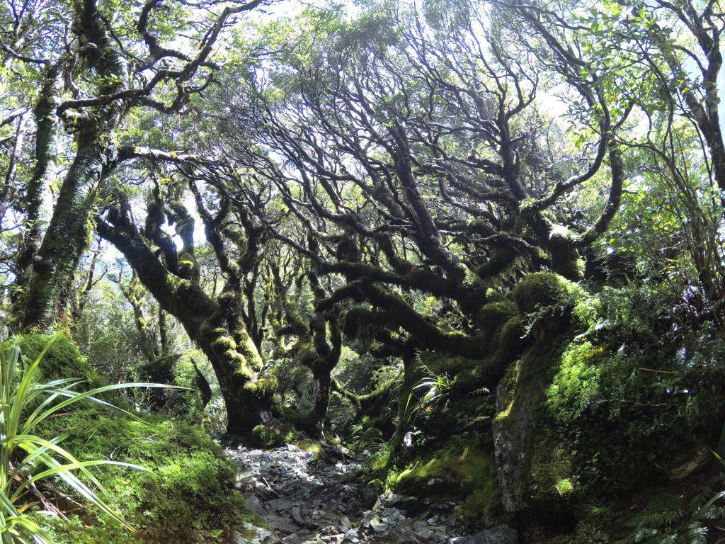 Bosques de ents en Routeburn Track