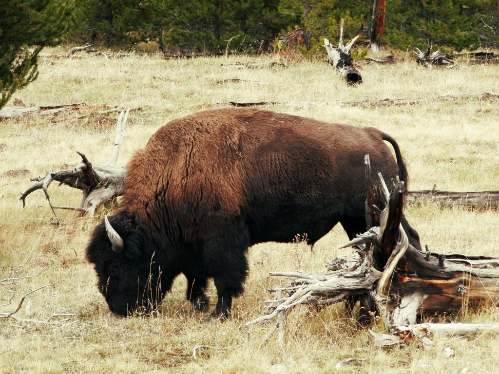EEUU Oeste Bisonte en Yellowstone