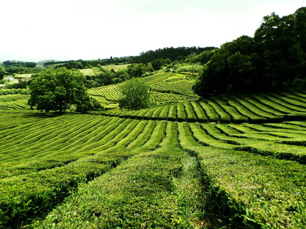 Campos de té Chá Gorreana