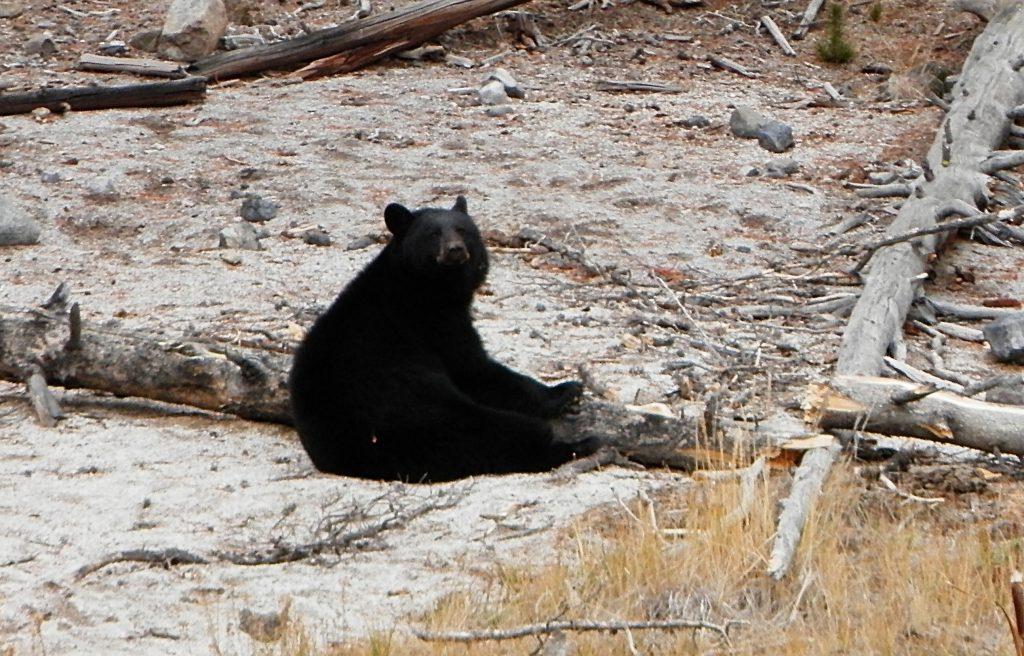 Oso Yellowstone National Park