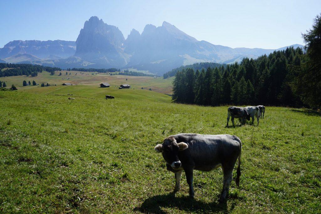Vacas en Alpe di Siusi