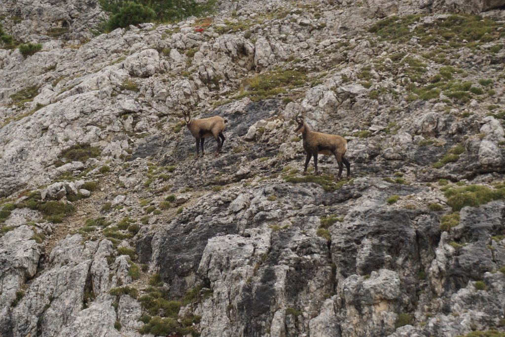 Ibex, Dolomitas