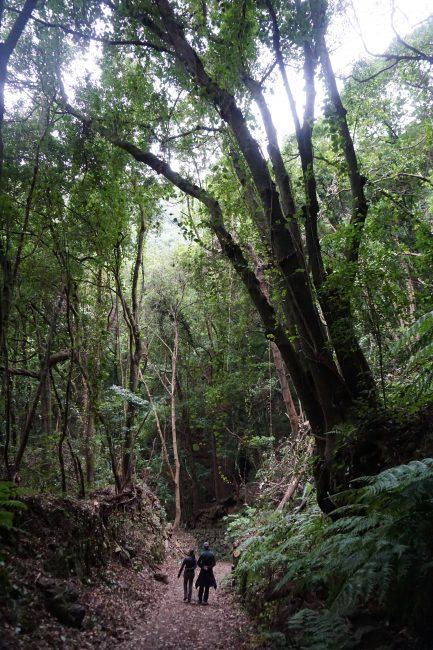Bosques de tilos en el PLP 06. Marcos y Cordero – Los Tilos. La Palma.