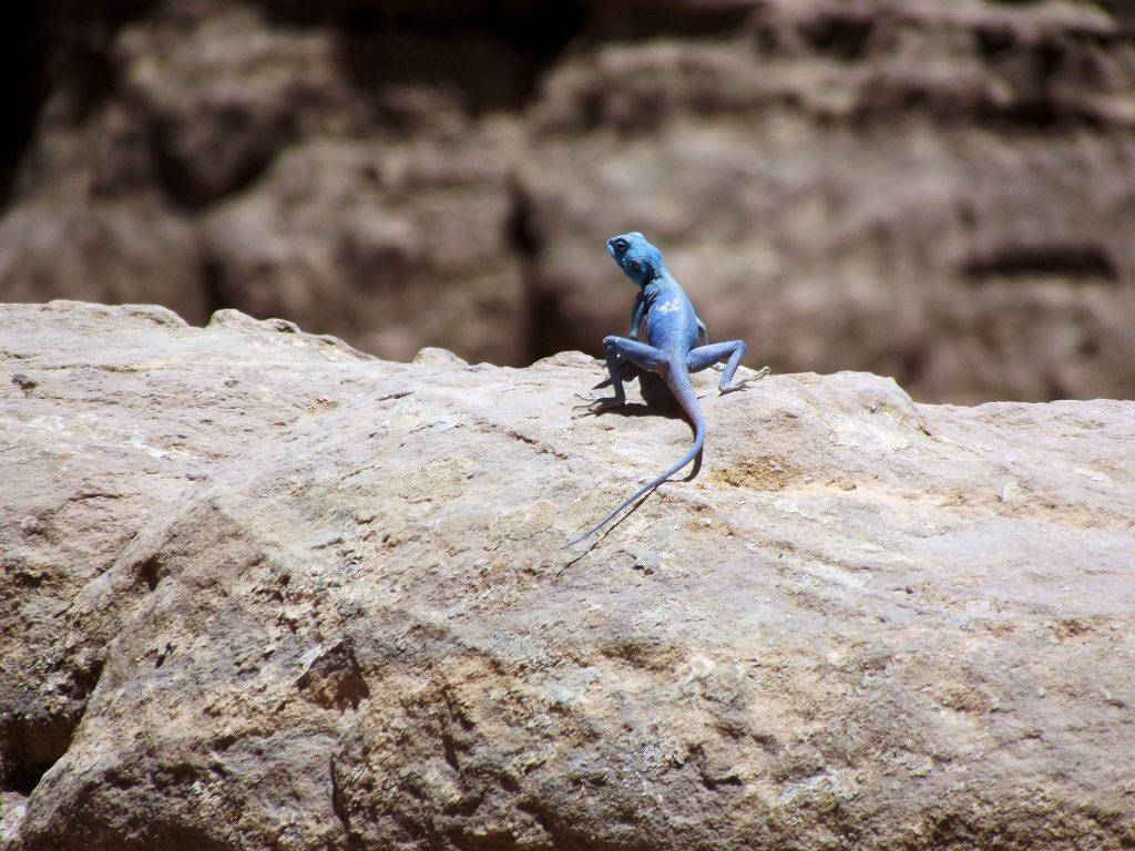 Lagarto Sinaí a principios de julio en Petra (Foto del viaje de los padres de Irene)