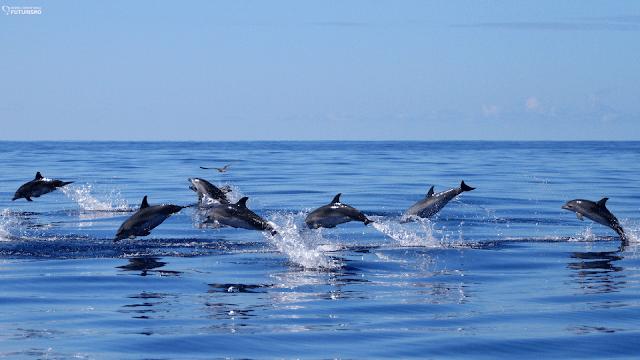 Delfines moteados del Atlántico